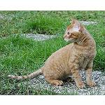巻き毛の猫で希少な種類のジャーマンレックスの性格や寿命について