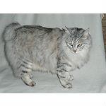 クリリアンボブテイルという種類の猫の起源や寿命について