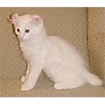 リンクス系の種類の猫アルパインリンクスの特徴や寿命に注目