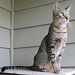 野性味あふれる種類の猫アメリカンキューダの特徴や寿命を調査