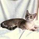 オーストラリアンミスト猫ってどんな種類?寿命はどれくらいなの