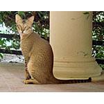 絶滅危機?バーレイニディルムンキャットという種類の猫の特徴や寿命
