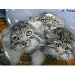 ブランブル猫ってどんな種類?寿命はどれくらいなの