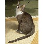 ブラジリアンショートヘアーという種類の猫の起源や寿命を調査