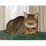 チャウシー猫ってどんな種類?寿命はどれくらいなの