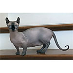 小さな妖精ドウェルフという種類の個性的な猫の特徴や寿命