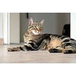 ヨーロピアンショートヘアーという種類の土着猫の特徴や寿命にせまる