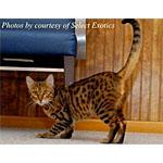 ベンガルにそっくりで大型の種類の猫ハバリの性格や寿命を検証