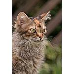 突然変異で誕生巻き毛かわいい猫ラ・パーマという種類の特徴や寿命