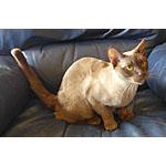 マンダレイ猫ってどんな種類?寿命はどれくらいなの