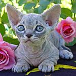 短足無毛が個性的ミンスキンという種類の猫の特徴や寿命を調査