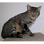 ヒョウ柄で野性味漂うモハーベスポッテドという種類の猫の特徴や寿命