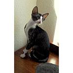 白ぶち模様の種類の猫オリエンタルバイカラーの特徴や寿命を紹介