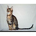 セレンゲティ猫ってどんな種類?寿命はどれくらいなの