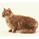 短足と巻き毛がかわいい新しい種類の猫スクークムの特徴や寿命を検証