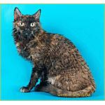 二種類の色の巻き毛を持つ猫ウラルレックスの起源や性格寿命を紹介